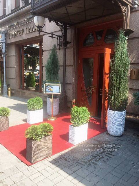 Можжевельник скальный Блю Арроу. Гостиница Premier Palace Hotel, г.Киев