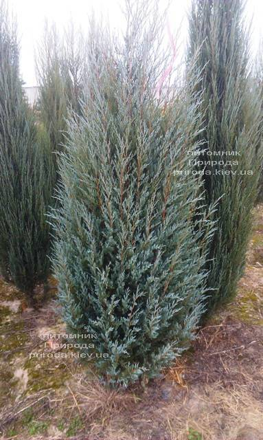 Можжевельник скальный Мунглов (Juniperus scopolorum Moonglow) ФОТО Питомник растений Природа Priroda (195)