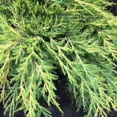 Можжевельник средний / пфитцериана Мордиган Голд (Juniperus media / pfitzeriana Mordigan Gold) ФОТО Питомник растений Природа Priroda (134)