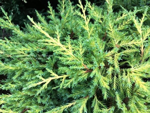 Можжевельник средний / пфитцериана Мордиган Голд (Juniperus media / pfitzeriana Mordigan Gold) ФОТО Питомник растений Природа Priroda