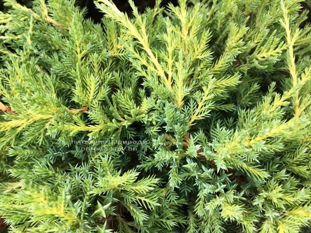 Можжевельник средний / пфитцериана Мордиган Голд (Juniperus media / pfitzeriana Mordigan Gold) ФОТО Питомник растений Природа Priroda (145)