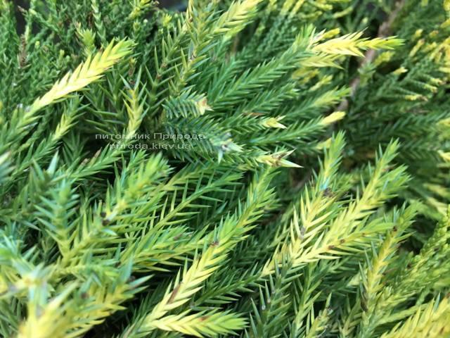 Можжевельник средний / пфитцериана Мордиган Голд (Juniperus media / pfitzeriana Mordigan Gold) ФОТО Питомник растений Природа Priroda (137)