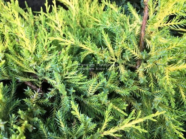 Можжевельник средний / пфитцериана Мордиган Голд (Juniperus media / pfitzeriana Mordigan Gold) ФОТО Питомник растений Природа Priroda (140)
