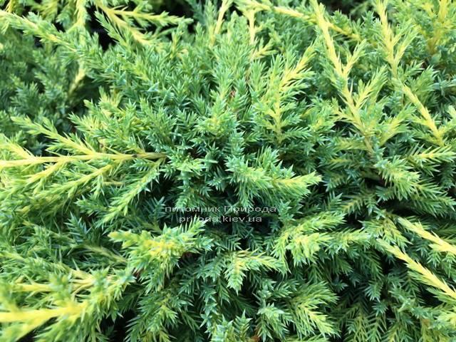 Можжевельник средний / пфитцериана Мордиган Голд (Juniperus media / pfitzeriana Mordigan Gold) ФОТО Питомник растений Природа Priroda (141)