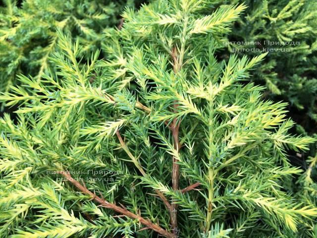 Можжевельник средний / пфитцериана Мордиган Голд (Juniperus media / pfitzeriana Mordigan Gold) ФОТО Питомник растений Природа Priroda (142)