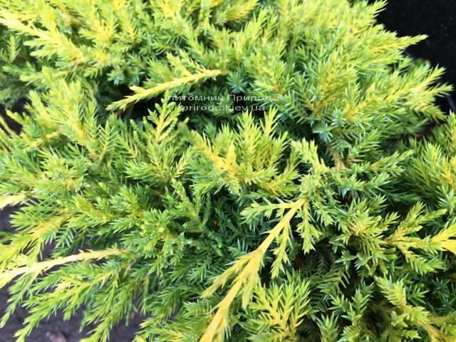 Можжевельник средний Голд Киссен (Juniperus media Goldkissen) ФОТО Питомник растений Природа (Priroda) (161)