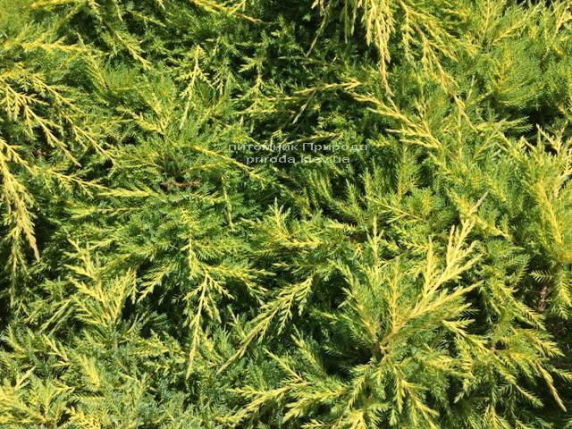 Можжевельник средний Голд Киссен (Juniperus media Goldkissen) ФОТО Питомник растений Природа (Priroda) (163)