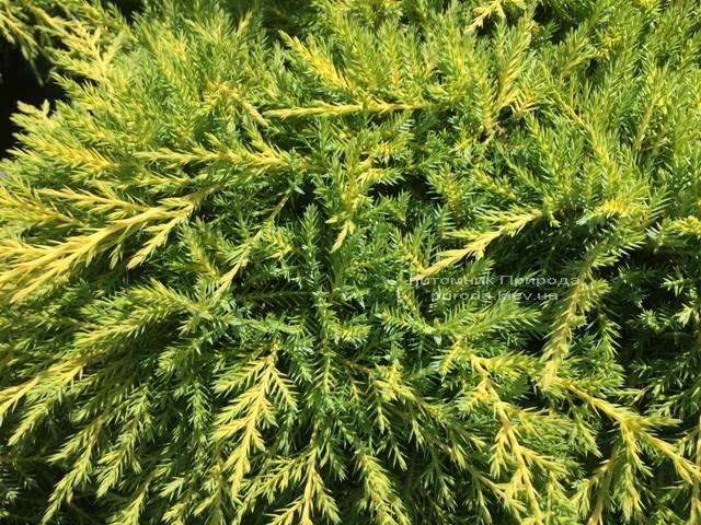 Можжевельник средний Голд Киссен (Juniperus media Goldkissen) ФОТО Питомник растений Природа (Priroda) (164)