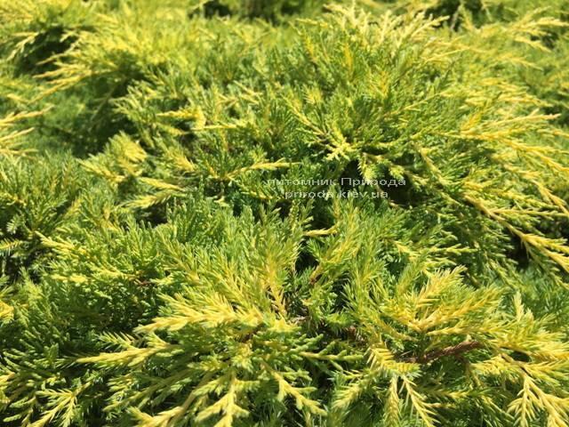 Можжевельник средний Голд Киссен (Juniperus media Goldkissen) ФОТО Питомник растений Природа (Priroda) (167)