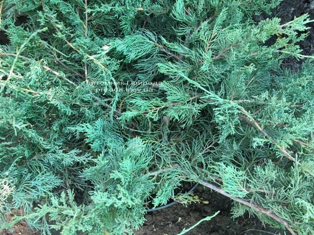 Можжевельник виргинский Блю Клоуд (Juniperus virginiana Blue Cloud) ФОТО Питомник растений Природа Priroda (130)
