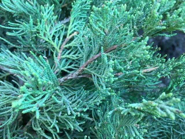 Можжевельник виргинский Блю Клоуд (Juniperus virginiana Blue Cloud) ФОТО Питомник растений Природа Priroda