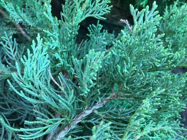 Можжевельник виргинский Блю Клоуд (Juniperus virginiana Blue Cloud) ФОТО Питомник растений Природа Priroda (132)