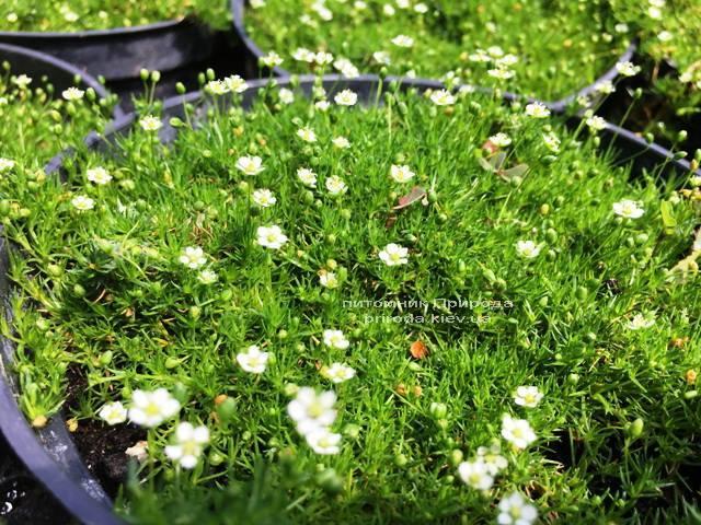 Мшанка шиловидная (Ирландский мох) (Sagina subulata) ФОТО Питомник растений Природа Priroda