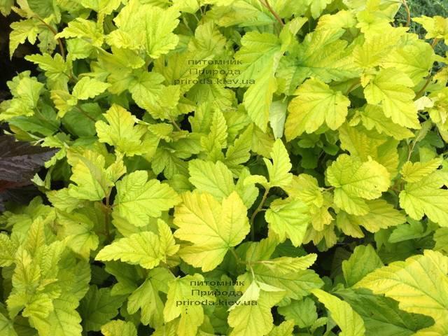 Пузыреплодник калинолистный Лютеус (Physocarpus opulifolius Luteus) ФОТО Питомник растений Природа Priroda (11)