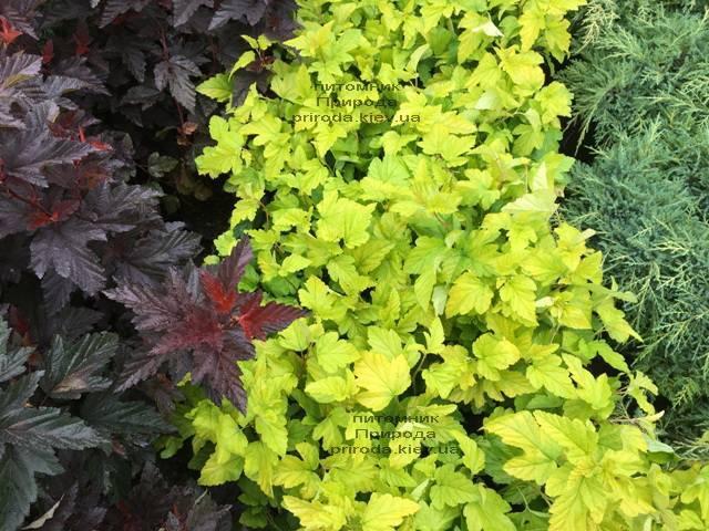 Пузыреплодник калинолистный Лютеус (Physocarpus opulifolius Luteus) ФОТО Питомник растений Природа Priroda (12)