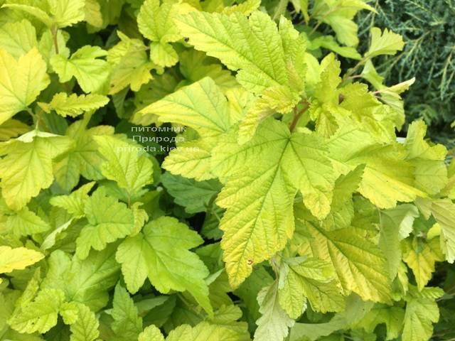 Пузыреплодник калинолистный Лютеус (Physocarpus opulifolius Luteus) ФОТО Питомник растений Природа Priroda