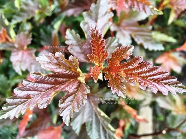 Пузыреплодник калинолистный Ред Барон (Physocarpus opulifolius Red Baron) ФОТО Питомник растений Природа Priroda
