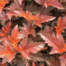 Пузыреплодник калинолистный Литл Ангел (Physocarpus opulifolius Little Angel) ФОТО Питомник растений Природа Priroda
