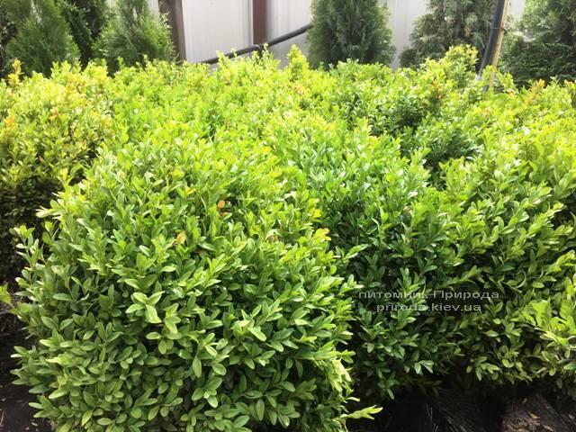 Самшит вечнозелёный (Buxus sempervirens) ФОТО Питомник растений Природа Priroda