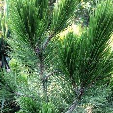 Сосна белокорая (Pinus leucodermis) ФОТО Питомник растений Природа Priroda