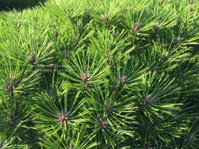 Сосна чёрная Брепо (Pinus nigra Brepo) на штамбе ФОТО Питомник растений Природа (Priroda) (90)