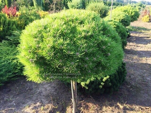 Сосна чёрная Брепо (Pinus nigra Brepo) на штамбе ФОТО Питомник растений Природа (Priroda) (91)