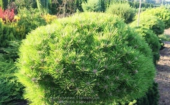 Сосна чёрная Брепо (Pinus nigra Brepo) ФОТО Питомник растений Природа Priroda (92)