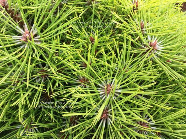 Сосна чёрная Брепо (Pinus nigra Brepo) ФОТО Питомник растений Природа Priroda