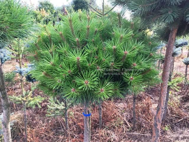 Сосна чёрная Брепо (Pinus nigra Brepo) на штамбе ФОТО Питомник растений Природа (Priroda) (82)
