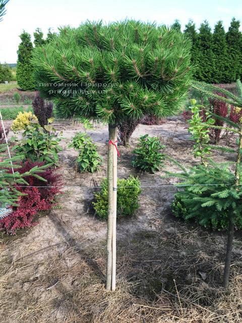 Сосна чёрная Брепо (Pinus nigra Brepo) на штамбе ФОТО Питомник растений Природа (Priroda) (85)
