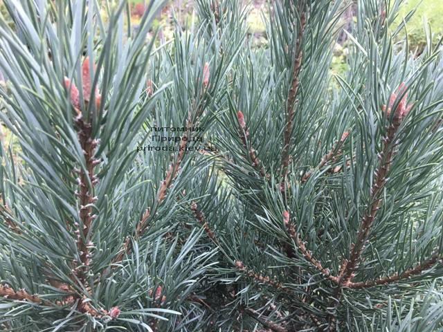 Сосна обыкновенная Ватерери (Pinus sylvestris Watereri) ФОТО Питомник растений Природа (Priroda) (102)