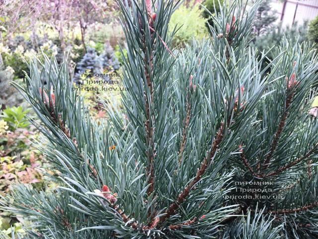 Сосна обыкновенная Ватерери (Pinus sylvestris Watereri) ФОТО Питомник растений Природа (Priroda) (103)