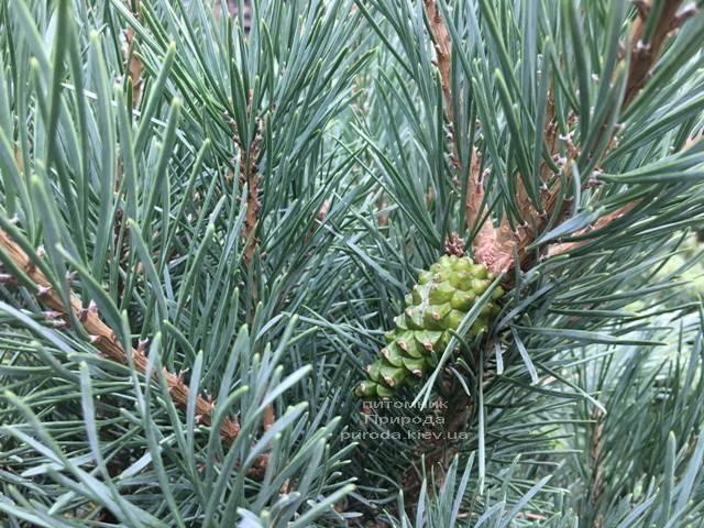 Сосна обыкновенная Ватерери (Pinus sylvestris Watereri) ФОТО Питомник растений Природа (Priroda) (104)