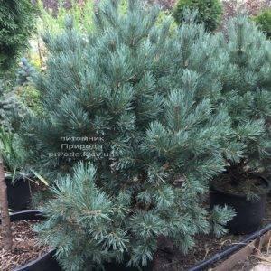 Сосна обыкновенная Ватерери (Pinus sylvestris Watereri) ФОТО Питомник растений Природа (Priroda) (105)