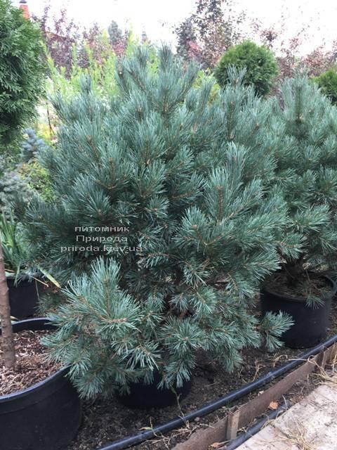 Сосна обычная Ватерери (Pinus sylvestris Watereri) ФОТО Питомник растений Природа Priroda
