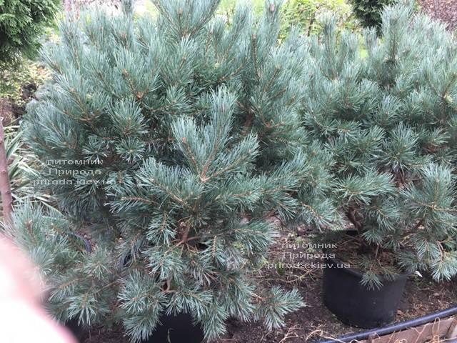 Сосна обыкновенная Ватерери (Pinus sylvestris Watereri) ФОТО Питомник растений Природа (Priroda) (106)