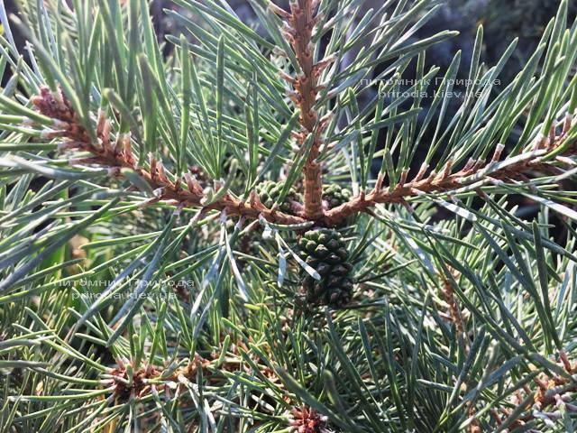 Сосна обыкновенная Нана Аргуто (Pinus sylvestris Nana Arguto) ФОТО Питомник растений Природа Priroda