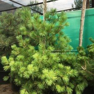Сосна веймутова (Pinus strobus) ФОТО Питомник растений Природа Priroda (58)