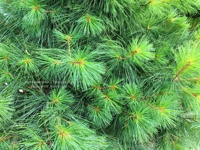 Сосна веймутова (Pinus strobus) ФОТО Питомник растений Природа Priroda
