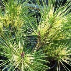 Сосна веймутова (Pinus Golden Ghost) ФОТО Питомник растений Природа Priroda (98)