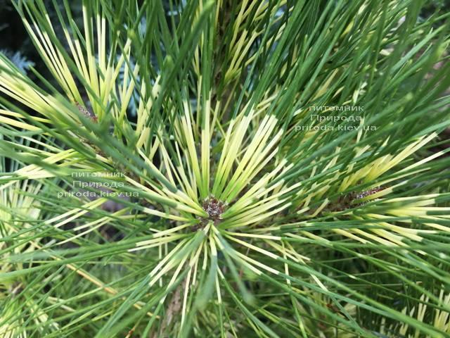 Сосна веймутова (Pinus Golden Ghost) ФОТО Питомник растений Природа Priroda (99)