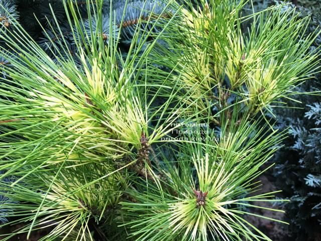 Сосна веймутова (Pinus Golden Ghost) ФОТО Питомник растений Природа Priroda (100)