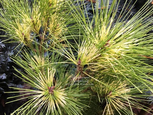 Сосна веймутова (Pinus Golden Ghost) ФОТО Питомник растений Природа Priroda (101)