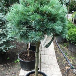 Сосна веймутова Макопин (Pinus strobus Macopin) ФОТО Питомник растений Природа Priroda (93)