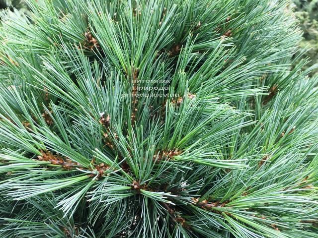 Сосна веймутова Макопин (Pinus strobus Macopin) ФОТО Питомник растений Природа Priroda