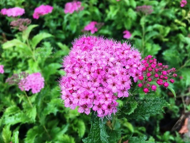 Спирея японская Криспа (Spiraea japonica Crispa) ФОТО Питомник растений Природа Priroda (39)