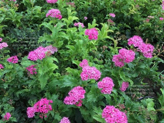 Спирея японская Криспа (Spiraea japonica Crispa) ФОТО Питомник растений Природа Priroda (41)