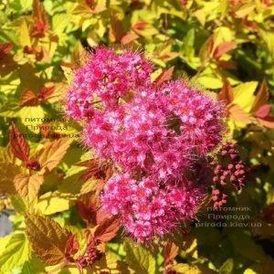 Спирея японская Меджик Карпет (Spiraea japonica Magic Carpet) ФОТО Питомник растений Природа Priroda (43)
