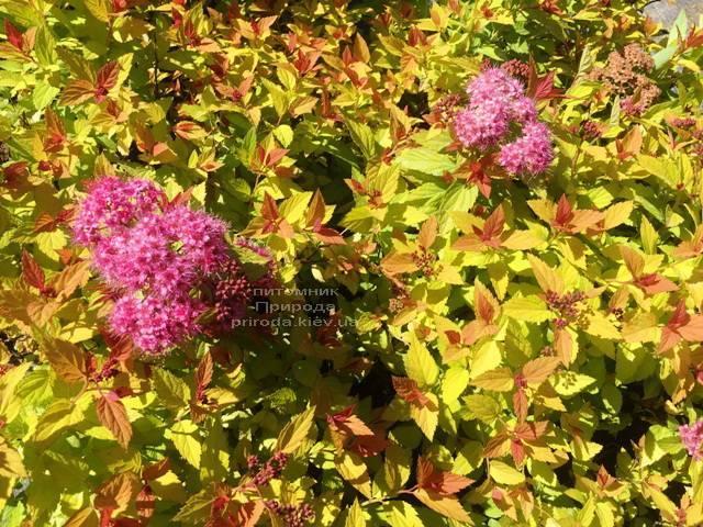 Спирея японская Меджик Карпет (Spiraea japonica Magic Carpet) ФОТО Питомник растений Природа Priroda (44)
