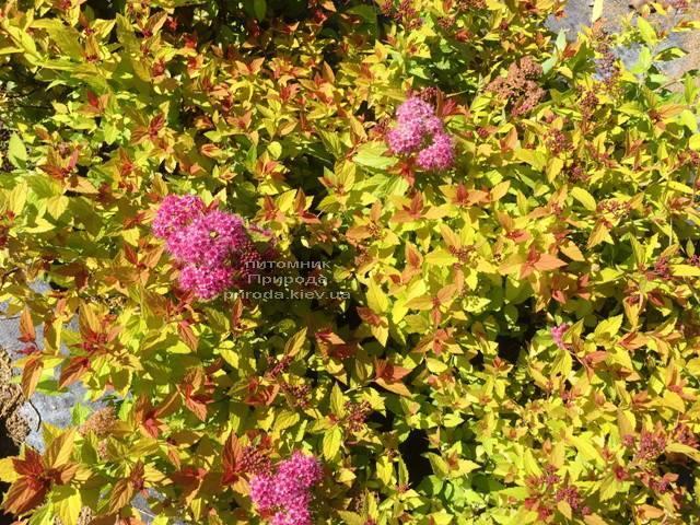 Спирея японская Меджик Карпет (Spiraea japonica Magic Carpet) ФОТО Питомник растений Природа Priroda (45)